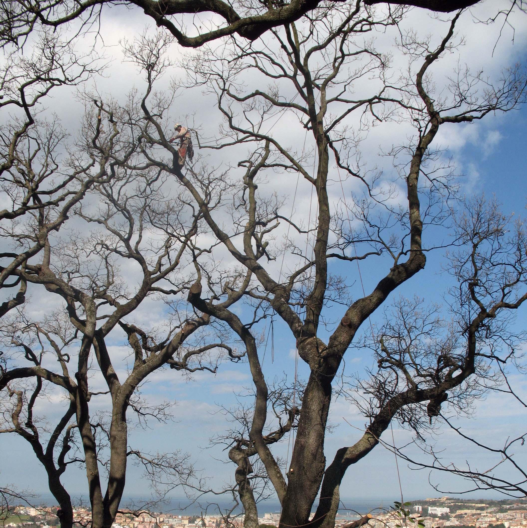 Periodo Migliore Per Potare Quercia potatura grandi alberi con corde ancona e macerata