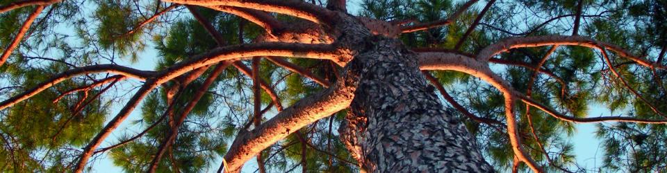 pinea ramificazioni