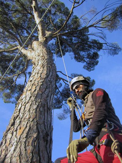 OSIMO (rimonda del secco su n° 2 pinus pinea secolari)